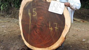 WALNUT PAROTA CROSS-CUT SLAB H15164